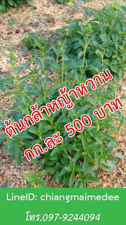 ขายต้นกล้าหญ้าหวาน,ขายต้นกล้า ราคาถูก,พันธุ์หญ้าหวาน,ต้นหญ้าหวาน,ต้นหญ้าหวาน ราคาถูก